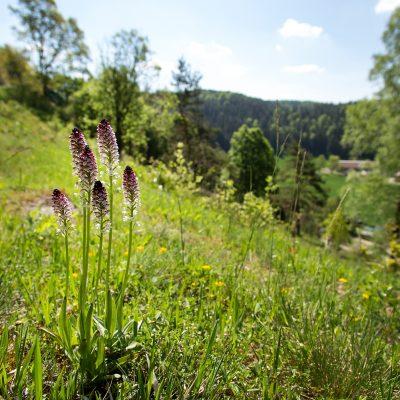 Brand-Knabenkraut (Orchis ustulata), Stadionberg in Oberklausen, Hirschbachtal