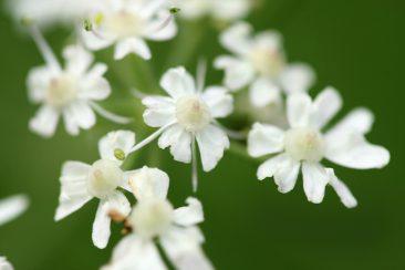 Wiesenbärenklau - (Heracleum sphondylium)