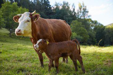 Nachwuchs bei den Rindern im Molsberger Tal