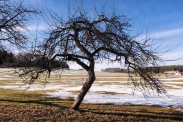 Obstbaum bei Prosberg