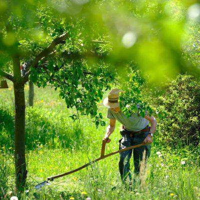 Vorstand Ottmar Fischer mäht mit der Sense die Baumscheiben - Streuobstinitiative Hersbruck, Obstsortengarten