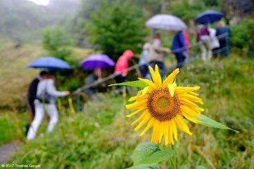 Sonnenblume und Touristiker im Regen