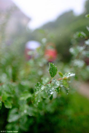 Pflanze und Touristiker im Regen