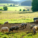 Blick über Schweine auf der Weide auf der Albhochfläche bei Lieritzhofen im Morgenlicht
