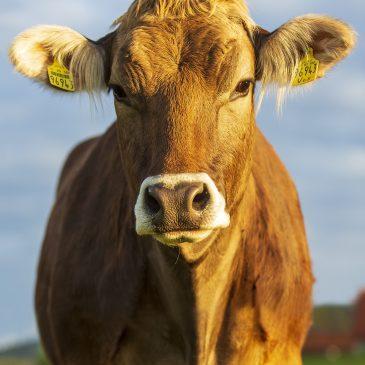 Portrait einer Kuh namens Burna, Rasse Braunvieh, im Abendlicht