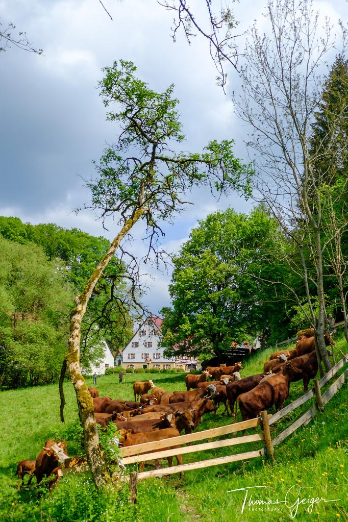 Rinder stehen auf einer Weide hinter einem Holzzaun, im Hintergrund Menschen und ein fränkischer Bauernhof