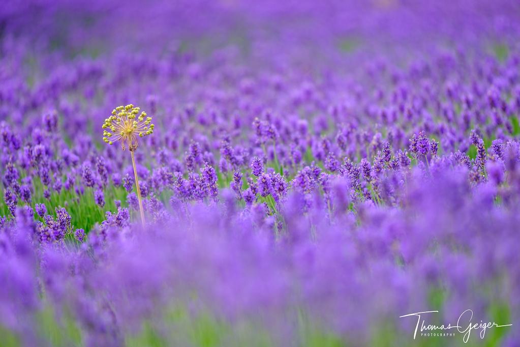 Lila Lavendelblütenmeer mit einer einzelnen gelben Blüte