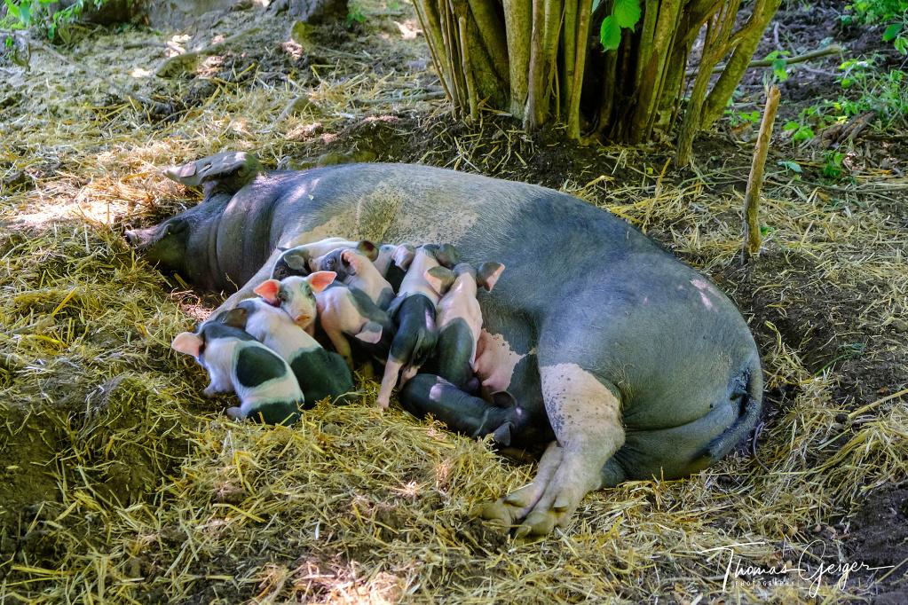 Schwarz und rosa gefärbte Ferkelchen säugen an den Zitzen ihrer Mutter, die auf Erde und Stroh im Schatten unter einem Busch liegt