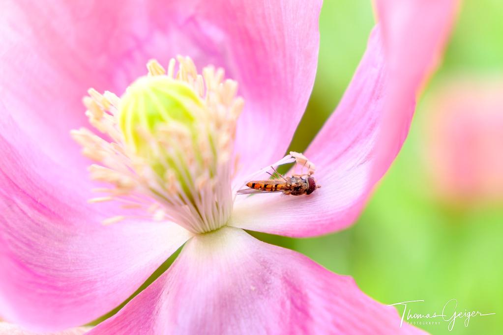 Kleine Schwebfliege hängt an einem Staubgefäß einer rosa Blüte, es sieht aus, als würde sie auf dem Rücken liegen.