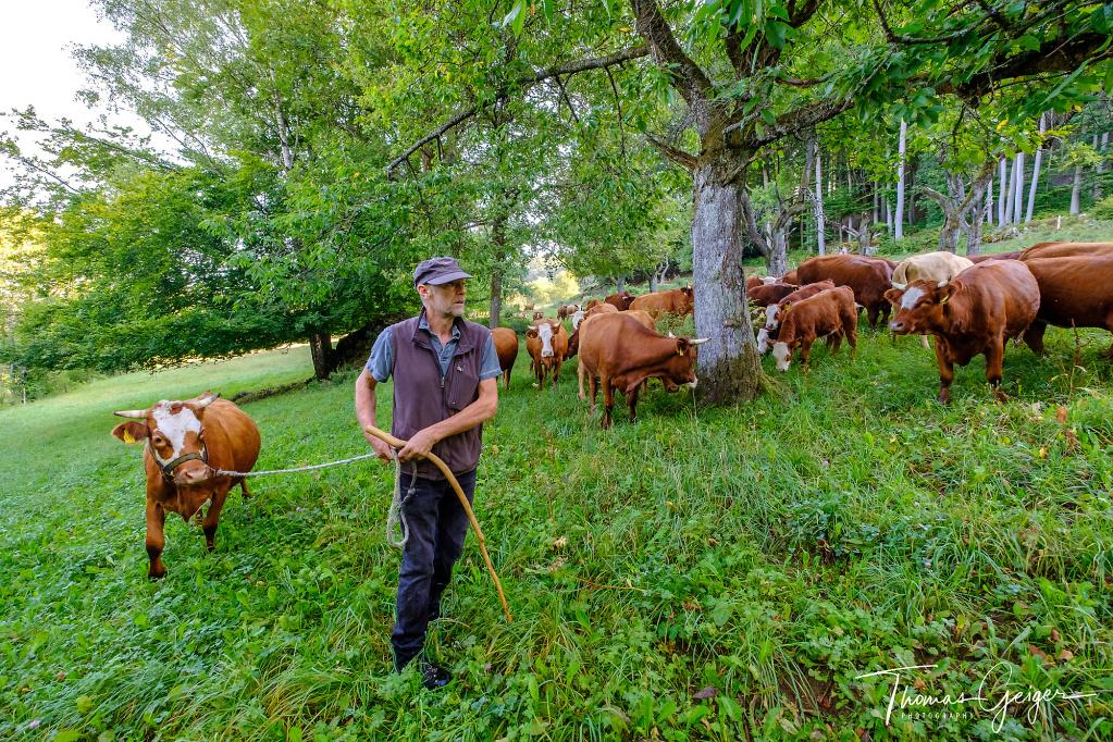 Ein Man führt eine Kuh vor einer Herde her, die sich unter einem alten Baum sammelt
