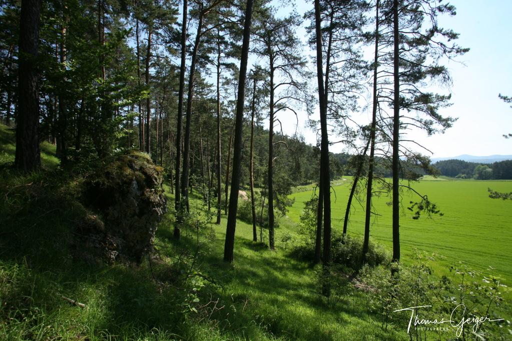 Blick aus einem Kiefernwald in die Landschaft