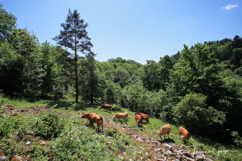 Rinder stehen auf einer Blockhalde, umgeben von Wald