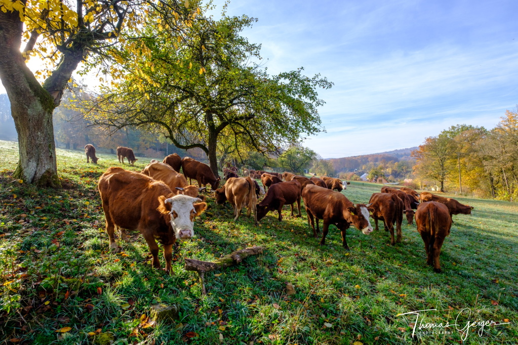 Rinder stehen auf einer Weide, einem Hutanger, die Sonne scheint durch die Bäume